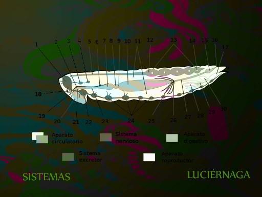 Luciérnaga (Sistema Nervioso Central) - nodolab