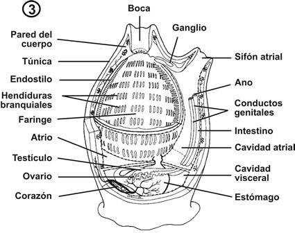 Sistema Reproductor (clavelina-libélula) - nodolab
